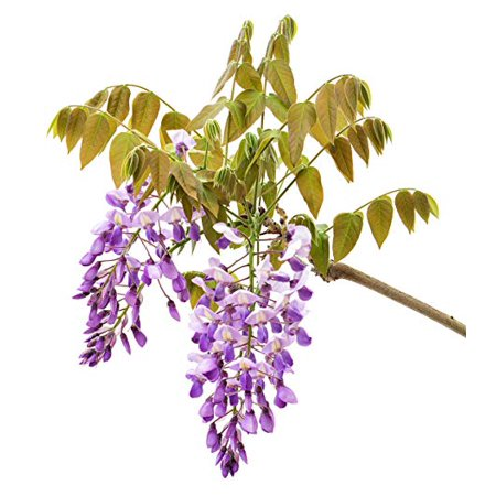 - ( 3 ) - Amethyst Falls Wisteria - Live Plant - 3 Inch Pot ( Pack of 3 )