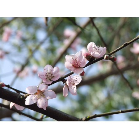 LAMINATED POSTER Spring Blossom Plant Bloom Flowers Flower Peach Poster Print 24 x 36