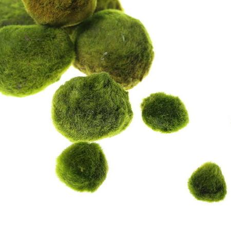 "Giant Marimo Moss Balls - Live aquarium tank plants low lightNo pesticides (1.5"" - 2""x 5 +3 free)"