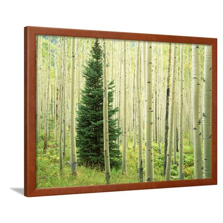 Silver Fir in Aspen Grove, White River National Forest, Colorado, USA Green Pine Tree Botanical Photo Framed Print Wall Art By Charles Gurche