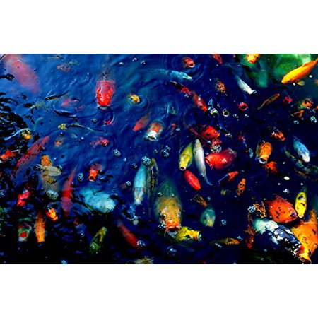 CANVAS Colorful Fish by Wall Decor Prints 36x24 CANVAS Gallery Wrap Giclee Edition Art Print Poster Wall Decor Koi Fish In Pond Outdoors Rainbow Fish Photography Spring Pond Limited Edition