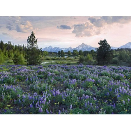 Lupine meadow Grand Teton National Park Wyoming Poster Print by Tim Fitzharris (Park Meadows Shops)