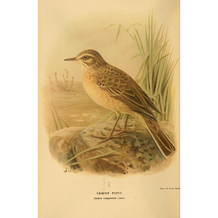 Tawny Port Bird - Birds of the British Islands 1885 Pipit Tawny Stretched Canvas - John G Keulemans (18 x 24)