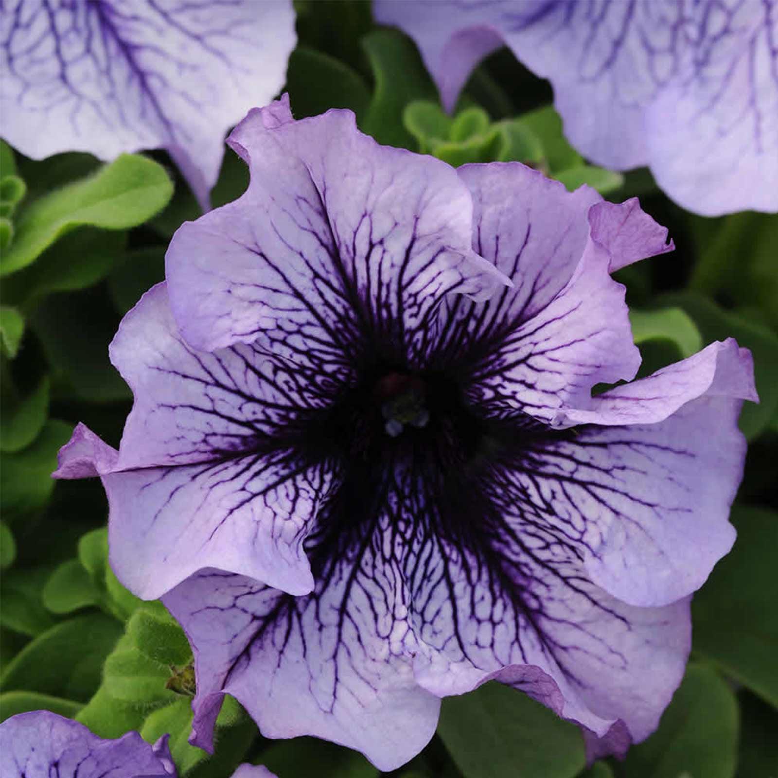 Petunia - Daddy Series Flower Garden Seed - 1000 Pelleted Seeds - Peppermint Color Blooms - Single Grandiflora Petunias - Annual Flowers