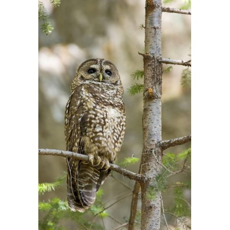 A Spotted Owl in Los Angeles County, California Print Wall Art By Neil