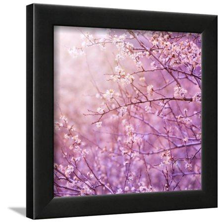 Beautiful Tender Cherry Tree Blossom in Morning Purple Sun Light Framed Print Wall Art By Anna Omelchenko Cherry Blossom Tree Art