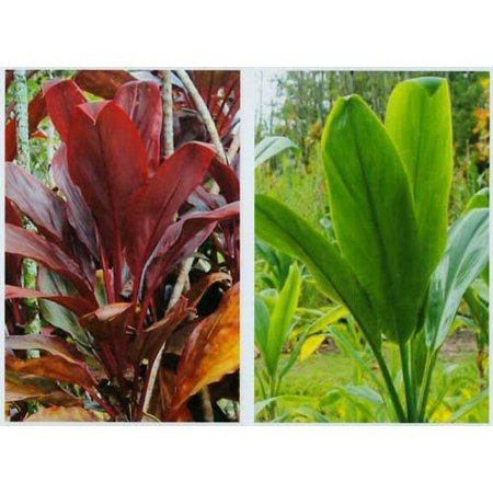 Hawaiian Ti Plant Logs 1 Red 1 Green ~ Grow (Hawaiian Center)