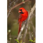 North Carolina State Bird - Northern Cardinal Journal: 150 Page Lined Notebook/Diary