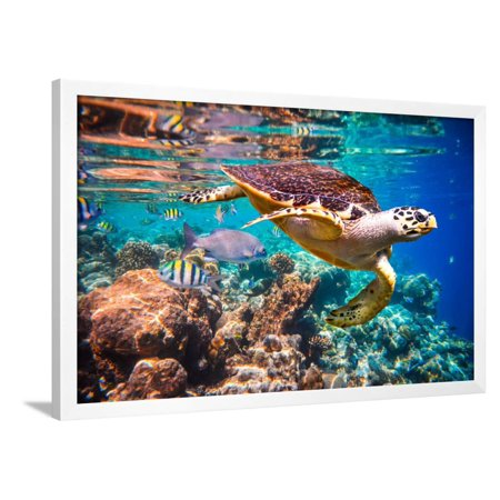 Hawksbill Turtle - Eretmochelys Imbricata Floats under Water. Maldives Indian Ocean Coral Reef. Framed Print Wall Art By Andrey Armyagov