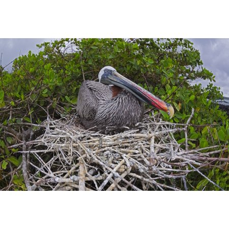 Totem 12' Brown Island Decor - Brown Pelican (Pelecanus occidentalis) sitting on its nest Santa Cruz Island Galapagos Archipelago Ecuador Stretched Canvas - Dave Fleetham  Design Pics (19 x 12)