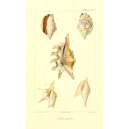 Image of Les Mollusques 1868 Shells 6 Canvas Art - JB Guerin (24 x 36)