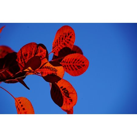 Laminated Poster Cotinus Fall Foliage Red Leaves Pattern Wig Brush Poster Print 24 x - Wig Brush