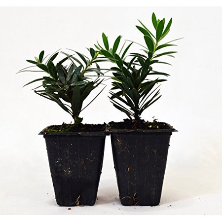9GreenBox - Callistemon 'Little John' - Dwarf Callistemon - Dwarf Bottlebrush - 2 pack
