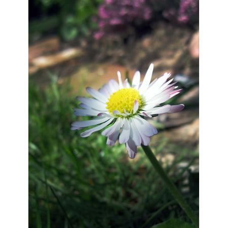 Marguerite Daisy - LAMINATED POSTER Priroda Flower White Marguerite Plant Daisy Poster Print 24 x 36