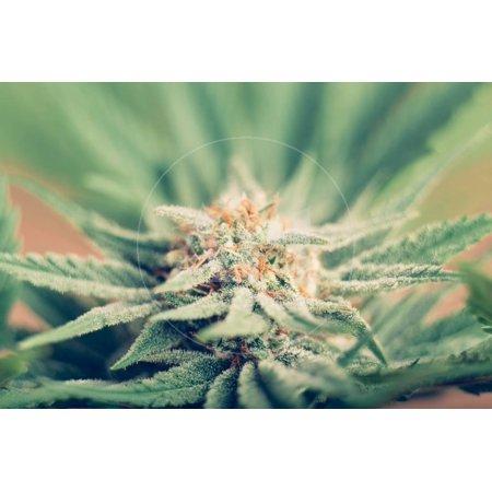 Cannabis Flowering Print Wall Art By JanMika