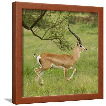 Grant's Gazelle Portrait Framed Print Wall Art By Joe (Gazelle Frames For Sale)