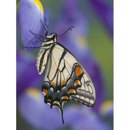 Eastern Tiger Swallowtail at Rest on a Dutch Iris Print Wall Art By Darrell - Beauty Dutch Iris