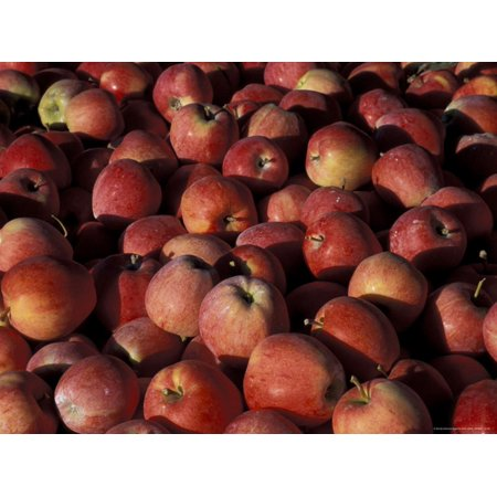 Freshly Picked Gala Apples, Monitor, Washington, USA Print Wall Art ()