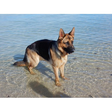 LAMINATED POSTER German Shepherd Animal Beach Cute Dog Canine Poster Print 24 x 36](Animal Posters)
