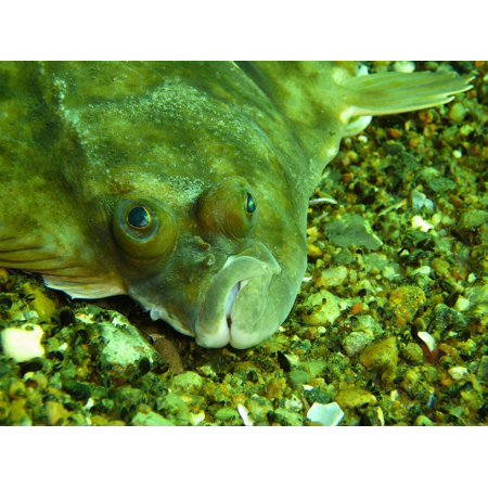 Canvas Print Butter Fish Plaice Underwater Fish Eat Pholidae Stretched Canvas 10 x 14