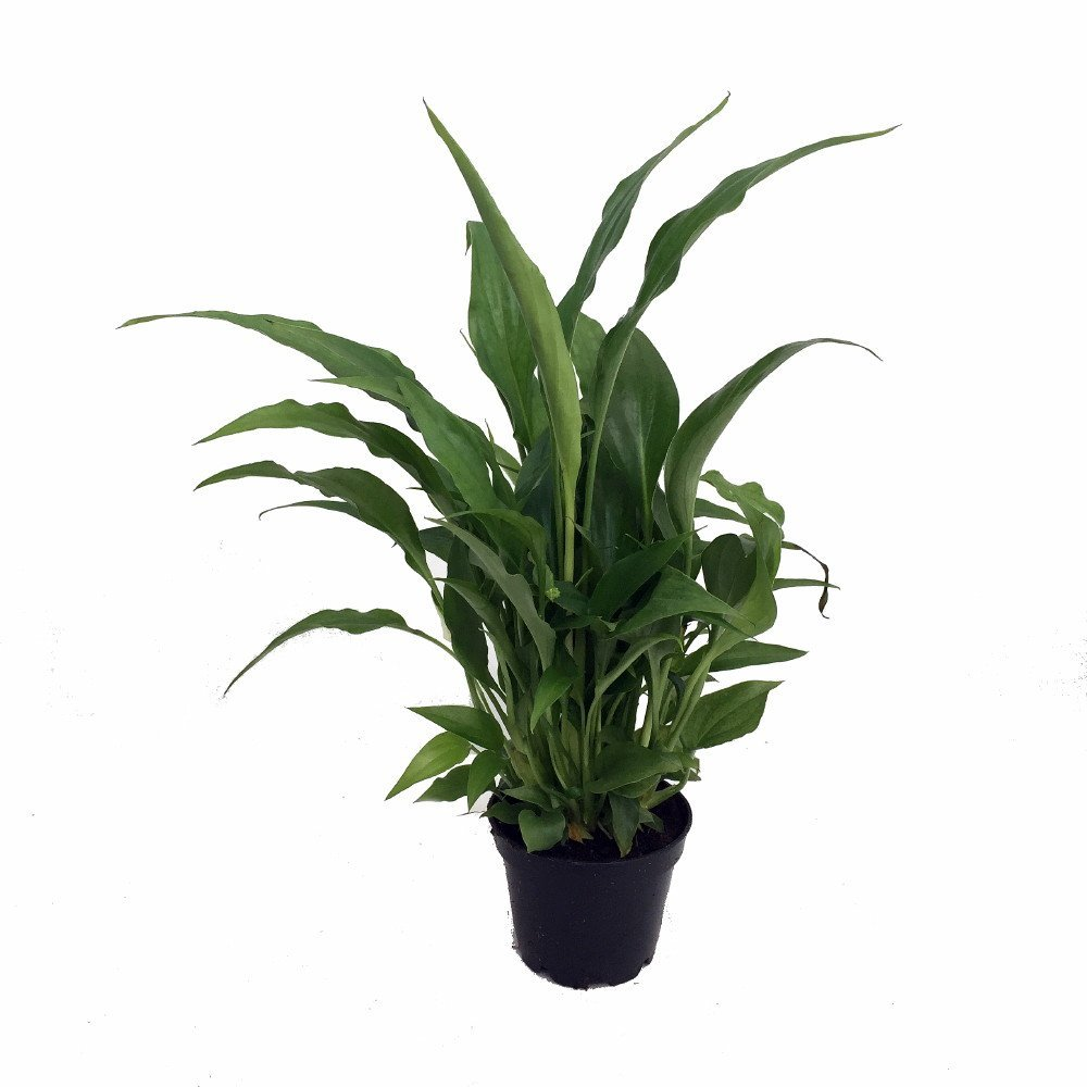 Peace Lily Plant Spathyphyllium Great House Plant 4 Pot
