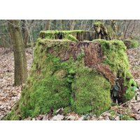 Laminated Poster Tree Stump Log Tree Moss Green Nature Forest Poster Print 24 x 36