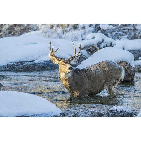 USA, Wyoming, A mule deer buck crosses Pine Creek Print Wall Art By Elizabeth (Homes For Sale In Mule Creek Nm)
