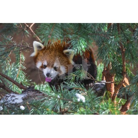 Red Panda in the Pine Trees Print Wall Art By Kris -