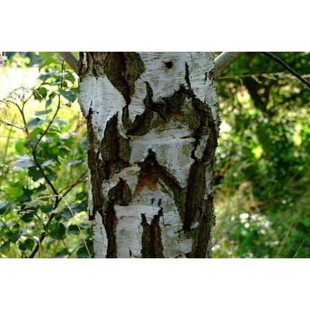 LAMINATED POSTER Nature Log Tree Bark Wood Tree Tribe Bark Birch Poster Print 24 x 36