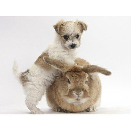 Bichon Frise Cross Yorkshire Terrier Puppy, 6 Weeks, and Sandy Rabbit Print Wall Art By Mark Taylor Bichon Frise Dog Art