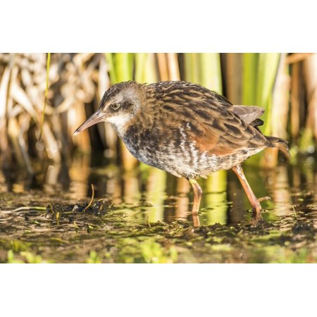 Wyoming, Sublette County, a Young Virginia Rail Forages in a Cattail Marsh Print Wall Art By Elizabeth Boehm