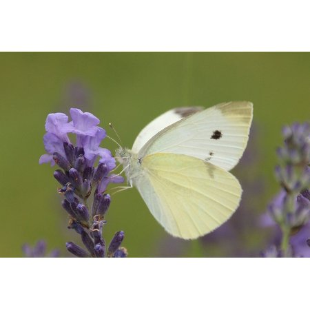 Framed Art for Your Wall Nature Summer Butterfly Small Cabbage White Ling 10x13 Frame ()