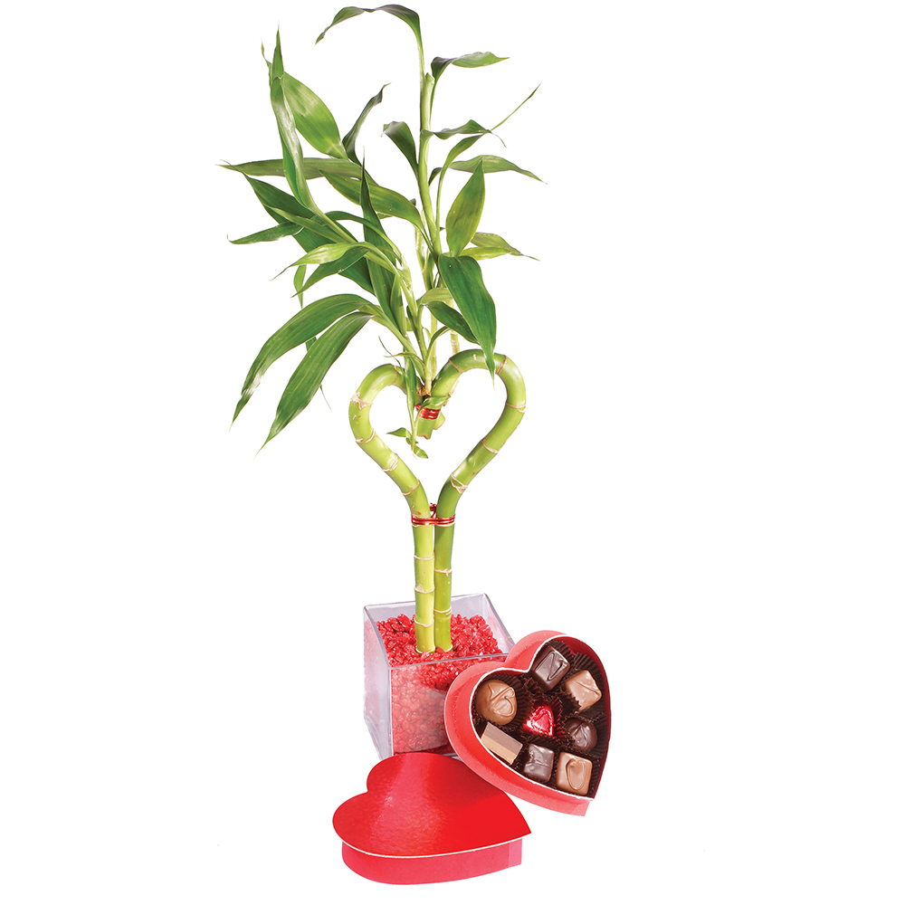Brussel's Lucky Bamboo - Heart Shaped - Medium Chocolate