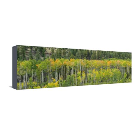 Aspen trees in a forest along U.S. Route 50, Colorado, USA Stretched Canvas Print Wall Art