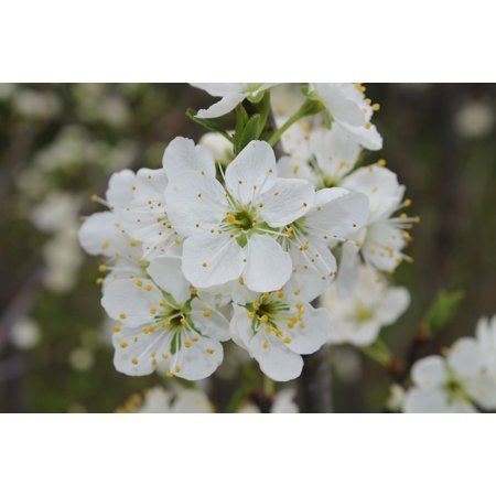 (LAMINATED POSTER Flower Branch Tree Floral White Plum Nature Poster Print 24 x 36)