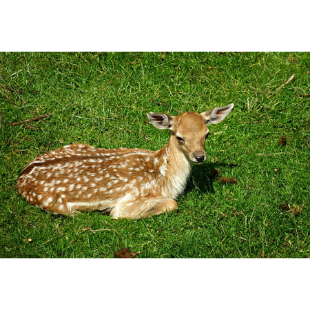 Canvas Print Deer Calf Bambi Deer Young Doe Female Animal Stretched Canvas 10 x 14