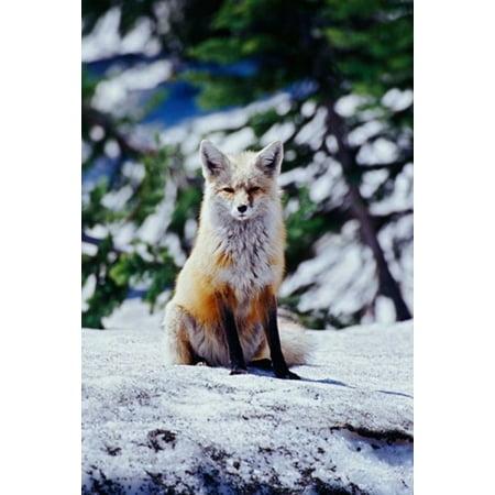 Red Fox On Snow Bank Mt Rainier National Park Washington Canvas Art   Adam Jones  Danitadelimont  24 X 36