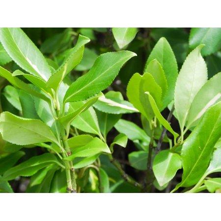 Image of 10 Seeds -Northern Bayberry- Coastal Salt Spray Tolerant -Loves Sun -Shade -Drought Tolerant -Nice Winter Interest -Myrica pensylvanica