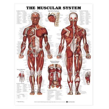 - The Muscular System Anatomical Chart-Laminated