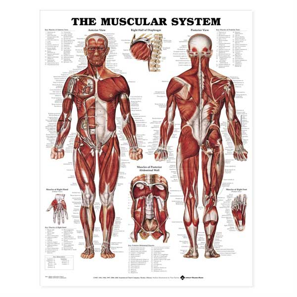 The Muscular System Anatomical Chart-Laminated