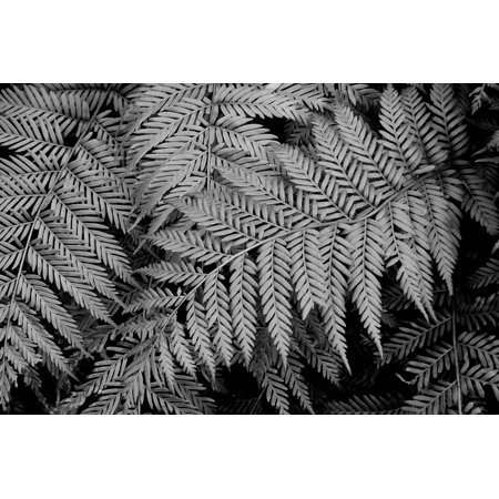 LAMINATED POSTER Leaf White Fern Nature Black And White Picture Poster Print 24 x