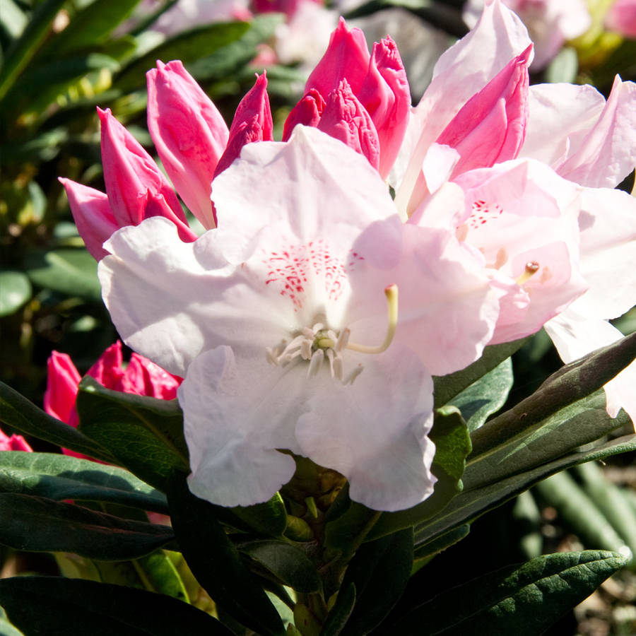 Grace Southgate Rhododendron, Flowering Shrub