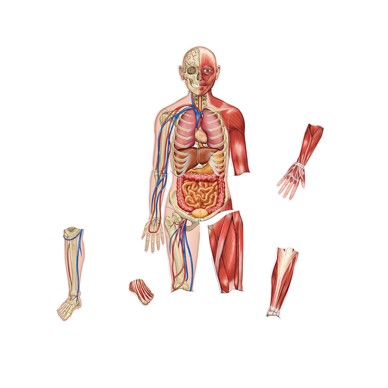 Double Sided Magnetic Human Body