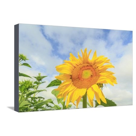 Sunflowers, Community Garden, Moses Lake, Wa, USA Stretched Canvas Print Wall Art By Stuart (Moses Lake High School Moses Lake Wa)