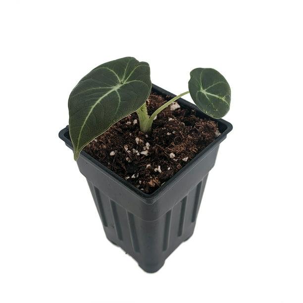 Black Velvet Dwarf Alocasia Plant - Houseplant - 4 Pot