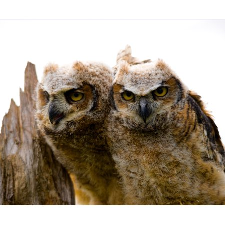 Close-up of two Great Horned Owlets Poster Print