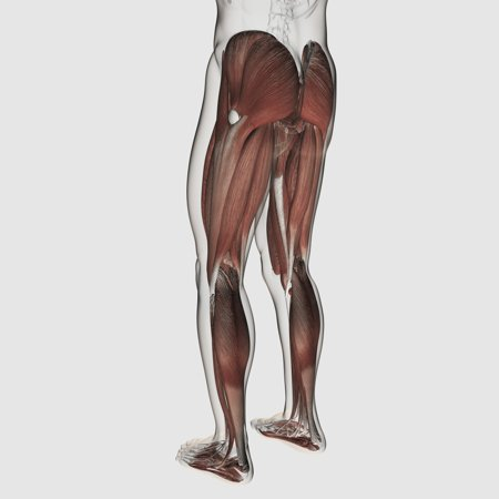 Male Muscle Anatomy Of The Human Legs Posterior View Canvas Art