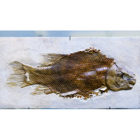 LAMINATED POSTER Petrification Cross Section Fossil Fish Skeleton Poster Print 24 x 36