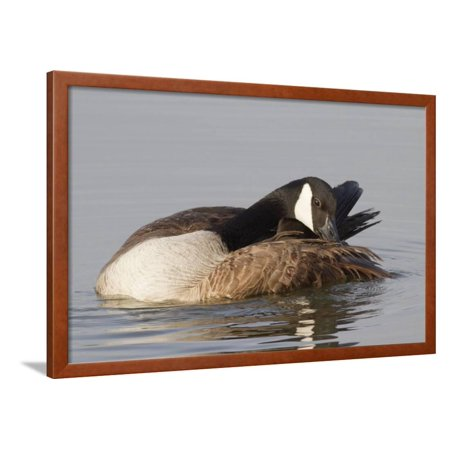 Canada Goose Grooming its Feathers Framed Print Wall Art By Hal Beral