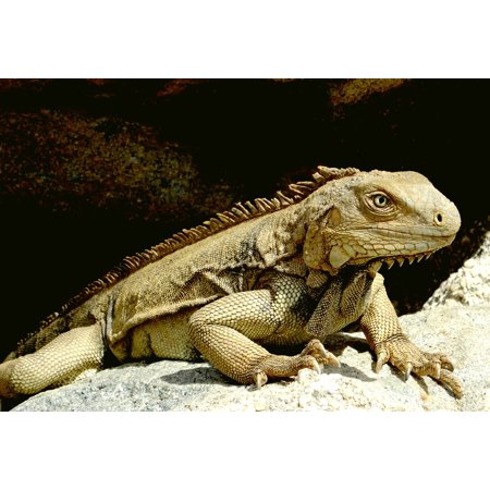 Lizard Point - Canvas Print Caribbean Reptile Scale Head Lizard Claw Iguana Stretched Canvas 10 x 14